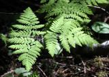 PTERIDOPHYTA - GYMNOCARPIUM DRYOPTERIS - OAK FERN - HEART OF THE FOREST TRAIL - ONP.JPG