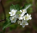 ROSACEAE - MALUS FUSCA - PACIFIC CRAB APPLE - WEST END OF OP - NEAR HOH RIVER EXIT.JPG