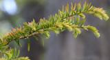 TAXACEAE - TAXUS - BREVIFOLIA - PACIFIC YEW - WESTERN YEW TREE - LAKE FARM TRAILS.JPG