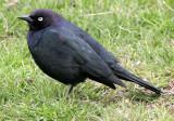 BIRD - BLACKBIRD - BREWERS BLACKBIRD - SEQUIM WA A.jpg