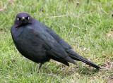 BIRD - BLACKBIRD - BREWERS BLACKBIRD - SEQUIM WA.jpg
