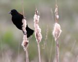 BIRD - BLACKBIRD - RED-WINGED BLACKBIRD - JAMESTOWN WA (3).JPG