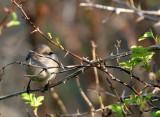 BIRD - BUSHTIT - LAKE FARM WOODS WASH (3).JPG