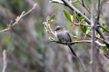 BIRD - BUSHTIT - PSALTRIPARUS MINIMUS - LAKE FARM TRAIL WA (6).JPG