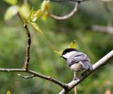 BIRD - CHICKADEE - BLACK-CAPPED CHICKADEE - DUNGENESS RIVER WA (5).JPG