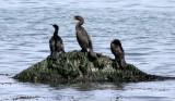 BIRD - CORMORANT - DOUBLE-CRESTED WITH PELAGIC CORMORANT - LAKE FARM BEACH WA (6).JPG
