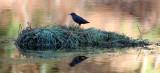 BIRD - DIPPER - AMERICAN DIPPER - HOH RAINFOREST WA (3).JPG