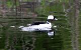 BIRD - DUCK - BUFFLEHEAD - CARRY BLAKE PARK SEQUIM WA (6).JPG
