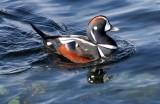 BIRD - DUCK - HARLEQUIN DUCK - SALT CREEK TONGUE POINT (27).jpg