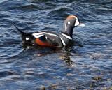 BIRD - DUCK - HARLEQUIN DUCK - SALT CREEK TONGUE POINT (44).jpg