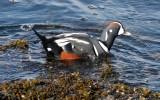 BIRD - DUCK - HARLEQUIN DUCK - SALT CREEK TONGUE POINT (51).jpg