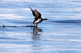 BIRD - DUCK - LONG-TAILED DUCK - PORT ANGELES HARBOR WA (25).JPG
