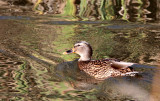 BIRD - DUCK - MALLARD - FEMALE - JAMESTOWN WA (2).JPG