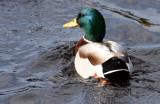 BIRD - DUCK - MALLARD DRAKE - DUNGENESS WETLANDS WA (2).JPG
