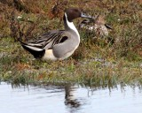 BIRD - DUCK - NORTHERN PINTAIL DUCK - THREE CRABS MARSH WA (20).JPG