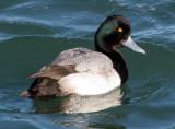 BIRD - DUCK - SCAUP - LESSER SCAUP - PA HARBOR (2).jpg