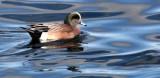 BIRD - DUCK - WIGEON - AMERICAN WIGEON - PORT ANGELES HARBOR WA (2).JPG
