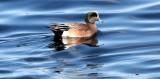 BIRD - DUCK - WIGEON - AMERICAN WIGEON - PORT ANGELES HARBOR WA (4).JPG