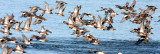 BIRD - DUCK - WIGEON - AMERICAN WIGEON - SEQUIM PRAIRIE (9).JPG