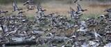 BIRD - DUCK - WIGEON - AMERICAN WIGEON - THREE CRABS DUNGENESS RIVER MOUTH WETLAND (17).jpg