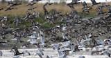 BIRD - DUCK - WIGEON - AMERICAN WIGEON - THREE CRABS DUNGENESS RIVER MOUTH WETLAND (22).jpg