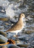 BIRD - DUNLIN - PA HARBOR (10).jpg