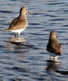 BIRD - DUNLIN - PA HARBOR (13).jpg