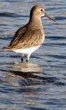 BIRD - DUNLIN - PA HARBOR (14).jpg
