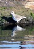 BIRD - DUNLIN - PORT ANGELES HARBOR WA.JPG