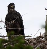 BIRD - EAGLE - BALD EAGLE - CHICKS - CLINE SPIT OVERLOOK - SEQUIM DUNGENESS BLUFFS (17).JPG