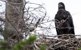 BIRD - EAGLE - BALD EAGLE - CHICKS - CLINE SPIT OVERLOOK - SEQUIM DUNGENESS BLUFFS (34).JPG