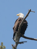 BIRD - EAGLE - BALD EAGLE - CLINE SPIT OVERLOOK SEQUIM WA (3).JPG
