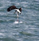 BIRD - EAGLE - BALD EAGLE - FISHING HUMBOLT SQUID - SEQUIM BAY WA (28).JPG