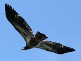 BIRD - EAGLE - BALD EAGLE - FISHING HUMBOLT SQUID - SEQUIM BAY WA (63).JPG