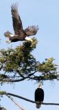 BIRD - EAGLE - BALD EAGLE - LAKE FARM BLUFFS (32).JPG