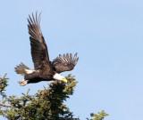 BIRD - EAGLE - BALD EAGLE - LAKE FARM BLUFFS (33).jpg