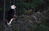 BIRD - EAGLE - BALD EAGLE - LAKE FARM BLUFFS (56).JPG
