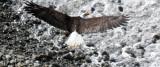 BIRD - EAGLE - BALD EAGLE - LAKE FARM BLUFFS WASHINGTON (127).JPG