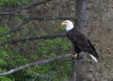 BIRD - EAGLE - BALD EAGLE - LAKE FARM BLUFFS WASHINGTON (175).jpg