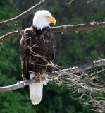 BIRD - EAGLE - BALD EAGLE - LAKE FARM BLUFFS WASHINGTON (213).JPG