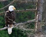 BIRD - EAGLE - BALD EAGLE - LAKE FARM BLUFFS WASHINGTON (214).JPG