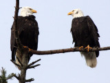 BIRD - EAGLE - BALD EAGLE - MARINE DRIVE SEQUIM WA (14).JPG