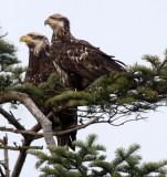 BIRD - EAGLE - BALD EAGLE - THIRD YEAR JUVENILE - SEQUIM MARINE DRIVE (2).JPG