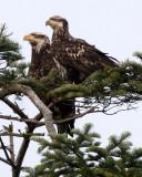 BIRD - EAGLE - BALD EAGLE - THIRD YEAR JUVENILE - SEQUIM MARINE DRIVE (3).JPG