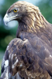 BIRD - EAGLE - GOLDEN - OP D.jpg