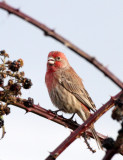 BIRD - FINCH - HOUSEFINCH - JAMESTOWN WA (10).JPG