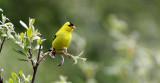 BIRD - GOLDFINCH - AMERICAN GOLDFINCH - ELWHA RIVER TRAILS (6).JPG