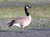 BIRD - GOOSE - CANADA GOOSE -  PA HARBOR WA.JPG