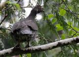BIRD - GROUSE - SPRUCE GROUSE - DUNCAN CEDAR TREE ROAD - HOH RIVER VALLEY WA (23).JPG