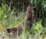 BIRD - GROUSE - ROUGHED GROUSE - DUNCAN MEMORIAL CEDAR TREE ROAD - WEST END OF ONP WA (19).JPG
